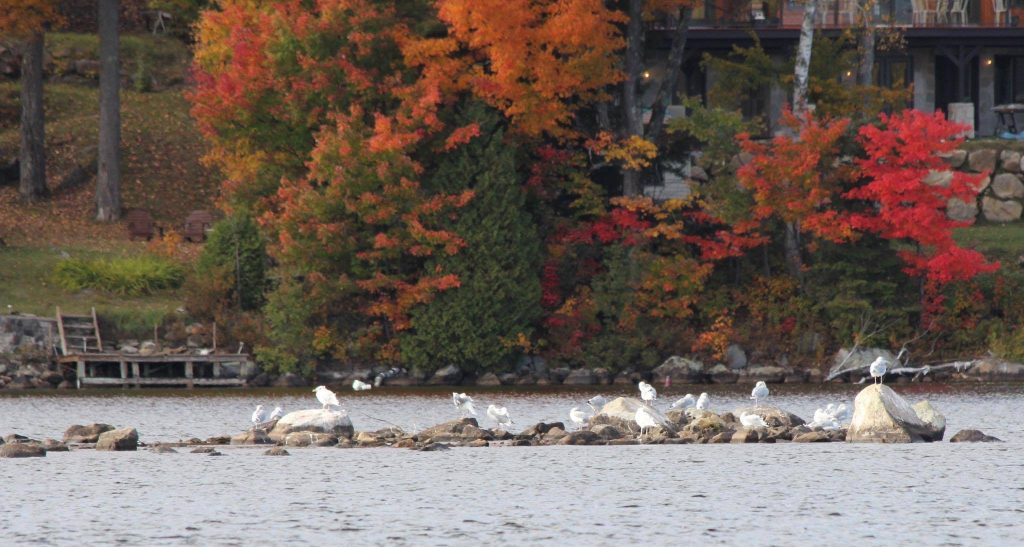 Birds of Lake Louisa/Les oiseaux de lac louisa